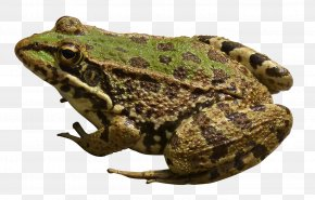 Frog - Frog New Guinea Computer File PNG