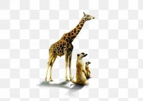Lion - Lion Northern Giraffe Image Clip Art PNG