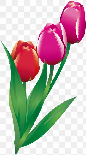 Tulip - Cut Flowers Tulip Flowering Plant PNG