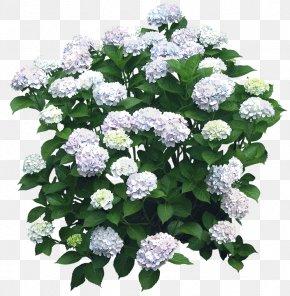 Hydrangea - Flower Garden Shrub French Hydrangea Tree PNG