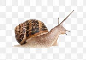 Snail - Giant African Snail Achatina Achatina Gastropods Cornu Aspersum PNG