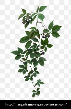 Vines - Parthenocissus Tricuspidata Virginia Creeper Plant PNG