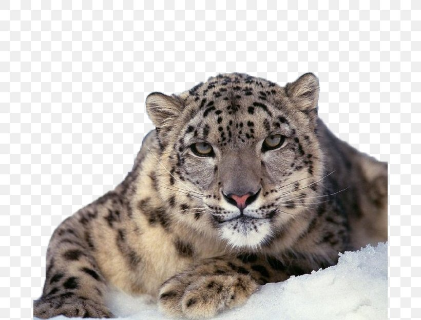 The Snow Leopard Felidae Cat, PNG, 690x624px, Leopard, Animal, Big Cat, Big Cats, Carnivora Download Free