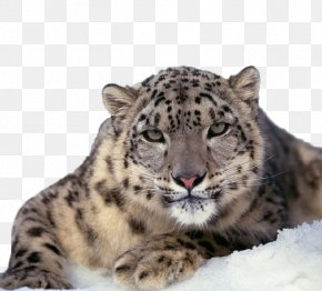 Snow Leopard Close-up - The Snow Leopard Felidae Cat PNG