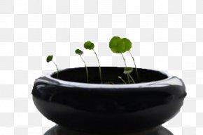 Pot Of Coins Grass - Flowerpot Plant Google Images Download PNG