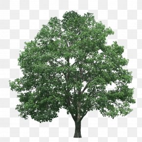 Trees - Tree Pine Clip Art PNG