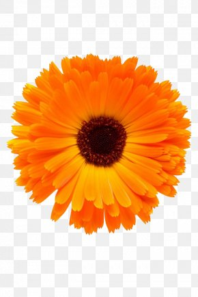 Marigold Close - Mexican Marigold Download PNG