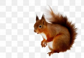Fox Squirrel Wildlife - Squirrel Eurasian Red Squirrel Tail Wildlife Fox Squirrel PNG