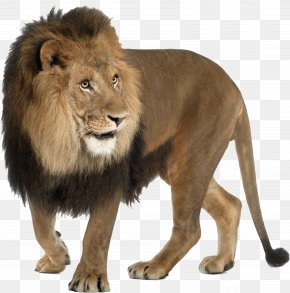 Lion - Lion Tiger Leopard Cat Felidae PNG