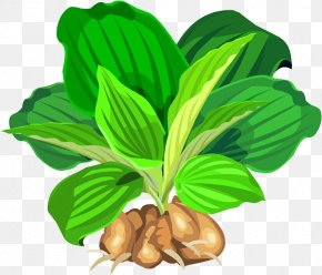 Plant - Leaf Vegetable Natural Foods Tree Fruit PNG