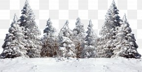 Snow - Tree Fir Spruce Snow PNG