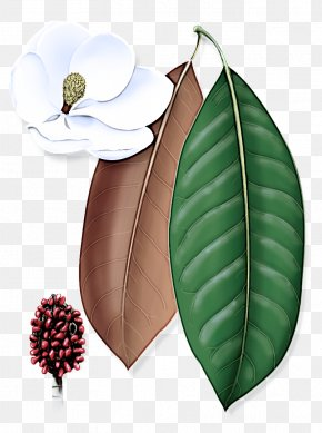 Flowering Plant Southern Magnolia - Leaf Plant Flower Tree Anthurium PNG
