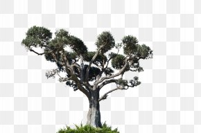 Tree Plan - Tree Arecaceae Photography PNG