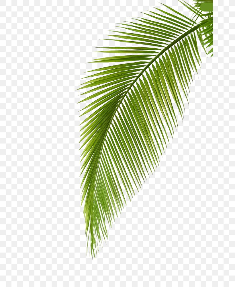 Arecaceae Leaf Photography Palm Branch, PNG, 666x1000px, Arecaceae, Aperture, Arecales, Banana Leaf, Leaf Download Free