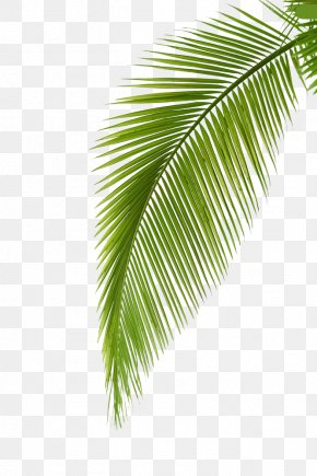 Palm Leaf - Arecaceae Leaf Photography Palm Branch PNG