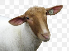 Sheep Head Image - Sheep PNG
