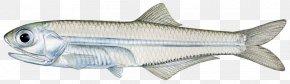Aquatic Animal - Sardine Anchoa Mitchilli Anchoa Hepsetus Indian Mackerel Aquatic Animal PNG