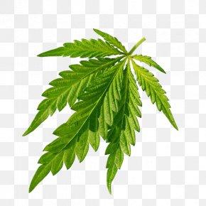 Cannabis Green Leaves Closeup - Cannabis Sativa Joint Leaf PNG