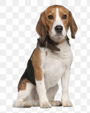 Do Not Catch The Tongue Of The Dog - Beagle Chihuahua Pet Sitting Dog Walking PNG