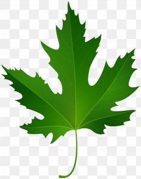 Maple Leaf - Maple Leaf Green Clip Art PNG
