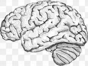 Sketch The Human Brain - Human Brain Drawing Cerebrum PNG