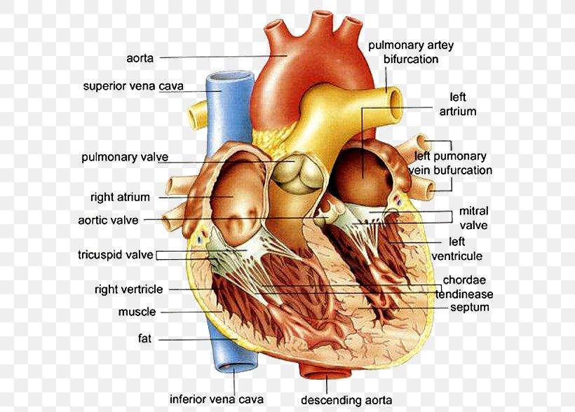Anatomy Of The Heart Anatomy Of The Heart Diagram Human Body Png 607x588px Watercolor Cartoon Flower