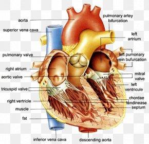 Heart - Anatomy Of The Heart Anatomy Of The Heart Diagram Human Body PNG