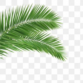 Palm - Arecaceae Leaf Frond Coconut Tree PNG