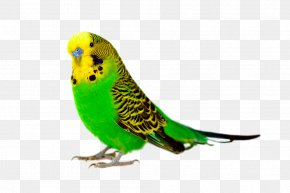 Parrot Close-up - Budgerigar Bird Parrot Cockatiel Parakeet PNG