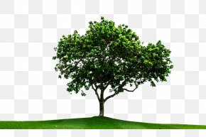 Eucalyptus And Grassland Picture Material - Tree PNG