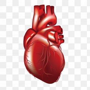 Vector Human Heart - Heart 3D Computer Graphics Computer File PNG