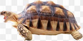 Turtle - Turtle Shell Reptile Wallpaper PNG