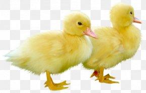 Cute Little Ducks Clipart Picture - Duck Clip Art PNG