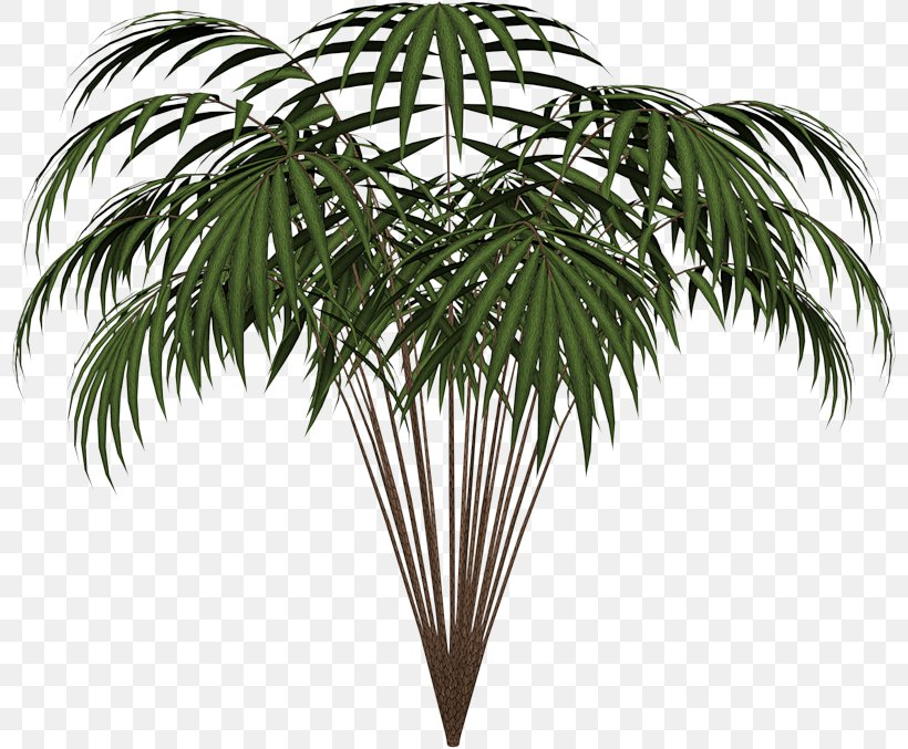 Palm Trees Leaf Clip Art Areca Palm Plants, PNG, 800x677px, Palm Trees, Archontophoenix Cunninghamiana, Areca Palm, Arecales, Attalea Speciosa Download Free