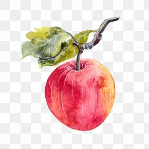 Watercolor Hanging In The Branches Of The Apple - Apple Watercolor Painting Illustrator PNG