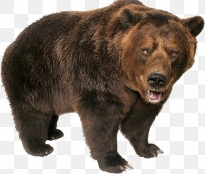 Bear - Brown Bear Grizzly Bear Polar Bear PNG