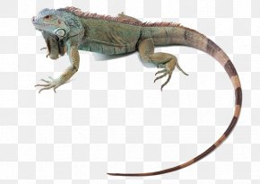 Lizard Animal - Green Iguana Lizard Reptile Chameleons Common Iguanas PNG