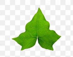 A Ivy Leaf - Common Ivy Hedera Hibernica Leaf Vine Clip Art PNG