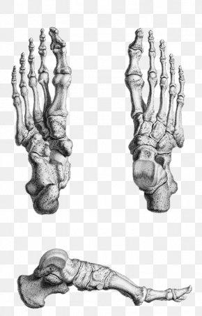 Feet - Gray's Anatomy Foot Bone Human Skeleton PNG