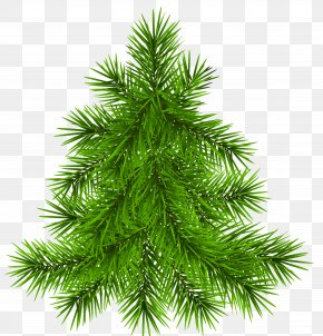 Pine Tree Transparent Picture PNG