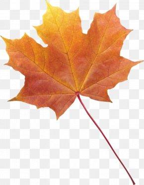Leaf - Maple Leaf Autumn Leaf Color Autumn Leaves Clip Art PNG