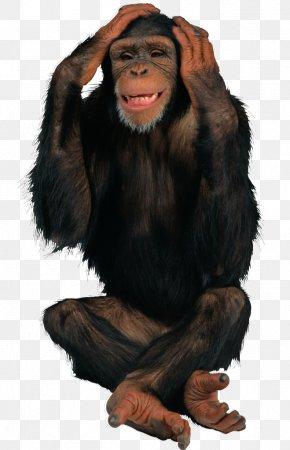 Monkey - Common Chimpanzee Ape Primate Monkey PNG