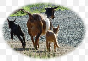 Goat - Goat Cattle Pasture Fauna Pack Animal PNG