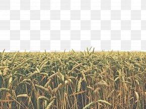 Malt Oat - Crop Field Agriculture Cash Crop Plant PNG