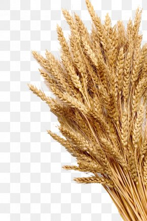 Mature Wheat - Wheat Ear Cereal Whole Grain Stock Photography PNG