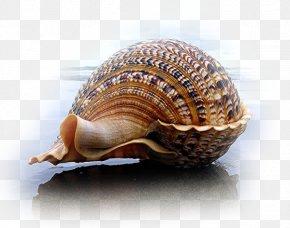 Conch On The Beach - Seashell Charonia Mollusc Shell Gastropod Shell PNG