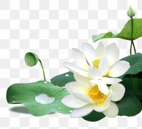 Lotus - Download PNG
