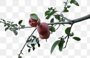 Food Fruit Tree - Fruit Tree PNG