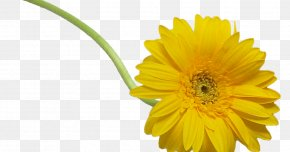 Hortensia - Cut Flowers Oxeye Daisy PNG