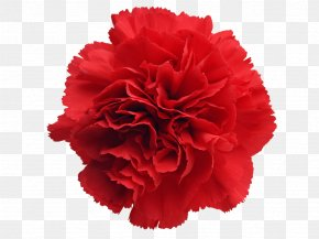 Carnations Clipart - Carnation Cut Flowers Stock Photography Clip Art PNG
